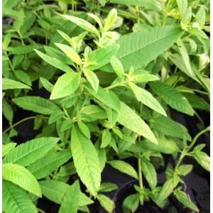 Aloisie trojlistá pěstování